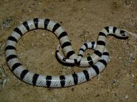 : Chionactis occipitalis annulata; Colorado Desert Shovel-nosed Snake