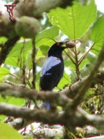 Asian Fairy-bluebird(Irena puella)