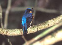 Hill Blue Flycatcher » Cyornis banyumas
