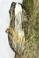 Harpyia milhauseri - Tawny Prominent