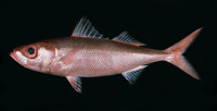 Erythrocles schlegelii, Japanese rubyfish: fisheries