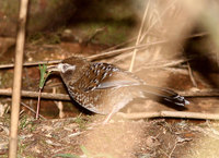 White-speckled Laughingthrush - Garrulax bieti