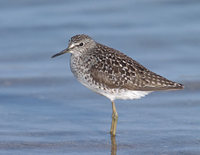 Wood Sandpiper (Tringa glareola) photo