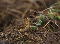 Red-throated Pipit (Anthus cervinus) photo