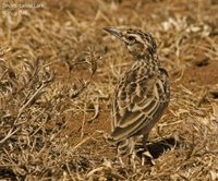 Short-tailed Lark - Pseudalaemon fremantlii