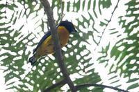 Orange-bellied  euphonia   -   Euphonia  xanthogaster   -