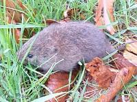 Meadow Vole Life Cycle, is one of the shortest of all mammals (Click to enlarge)