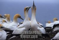 ...Northern gannet ( Morus bassanus ) colony , Cape Kidnappers , North Island , New Zealand stock p