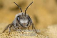 Grey Mining Bee ( Andrena vaga ) , wild bee stock photo