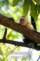 White faced Capuchin monkey , Costa Rica . stock photo