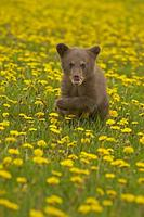 ...Black Bear ( Ursus americanus ) in field of yellow wild flowers , Kettle River , Minnesota , USA