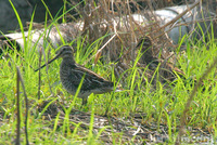 Common Snipe 扇尾沙錐
