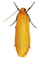 Eilema sororcula - Orange Footman