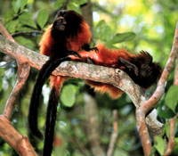 Black-faced lion tamarin (Leontopithecus caissara)