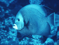 Pomacanthus arcuatus, Gray angelfish: fisheries, aquarium