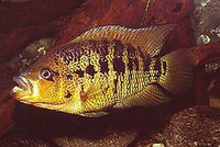 Parachromis friedrichsthalii, Yellowjacket cichlid: gamefish, aquarium