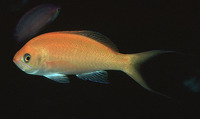 Pseudanthias thompsoni, Hawaiian anthias: aquarium