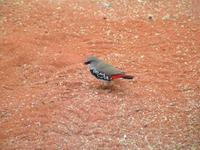 Stagonopleura guttata - Diamond Firetail