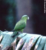 Blue-crowned Racquet-tail - Prioniturus discurus