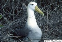 Waved Albatross - Phoebastria irrorata