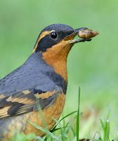 Varied Thrush (Zoothera (Ixoreus) naevius) photo