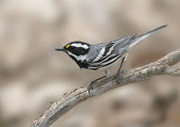 Black-throated Gray Warbler (Dendroica nigrescens) photo