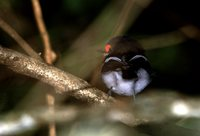 Brown-throated Wattle-eye - Platysteira cyanea