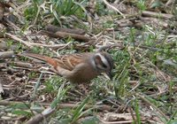 Meadow Bunting - Emberiza cioides