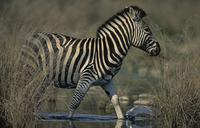 Burchell's Zebra, Equus burchelli, Kruger National Park, South Africa (25836)