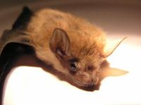 : Emballonura nigrescens; Solomon Sheathtail Bat