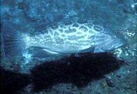 Mycteroperca xenarcha, Broomtail grouper: fisheries, gamefish