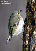 Image of: Regulus calendula (ruby-crowned kinglet)