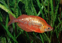 Glossolepis incisus - Red Rainbow