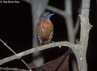 Grey-headed Babbler - Stachyris poliocephala