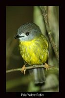 Pale Yellow Robin