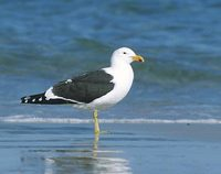 Kelp Gull (Larus dominicanus) photo