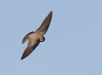 Northern Rough-winged Swallow (Stelgidopteryx serripennis) photo