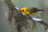 Golden Tanager (Tangara arthus) photo