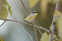 Striated Pardalote - Pardalotus striatus