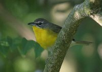 Yellow-breasted Chat - Icteria virens