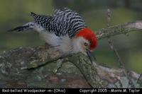 Red-bellied Woodpecker (male) - Ohio