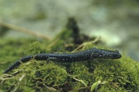 : Plethodon glutinosus; Northern Slimy Salamander