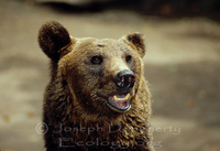: Ursus arctos spp. horribilis; American Brown Bear