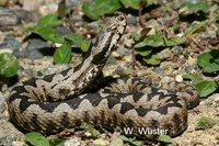 : Vipera ammodytes; Long-nosed Viper