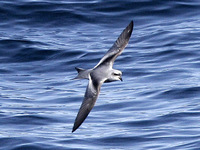 Fork-tailed Storm Petrel. 30 September 2006. Photo by Angus Wilson