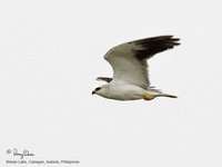 Black-shouldered Kite Scientific name - Elanus caeruleus