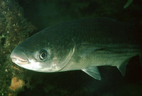 Chelon labrosus, Thicklip grey mullet: fisheries, gamefish, aquarium
