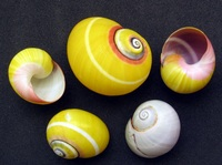 Polymita picta - Cuban Land Snail