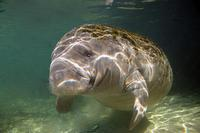 Image of: Trichechus manatus (West Indian manatee)