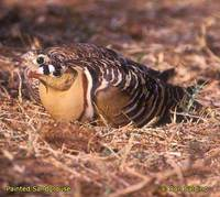 Painted Sandgrouse - Pterocles indicus